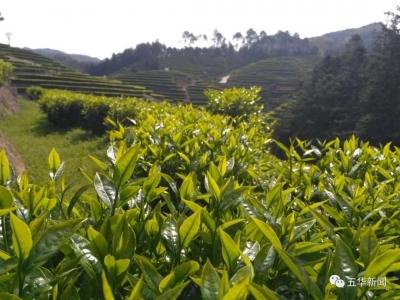 五华春茶开摘 产量比去年增长15%左右
