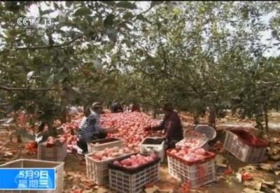 苹果滞销4000万斤果农无奈砍树?果农:我是被安排的