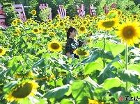 图集丨向日葵花开 游人赏花忙