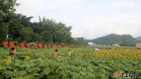 旅游|大埔北塘:向日葵正是盛放时