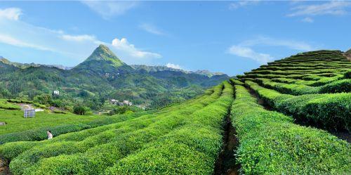 这三款梅州茶获评广东十大好春茶,你喝过吗?