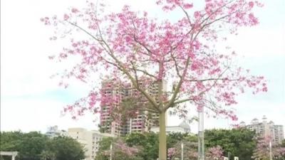 金秋十月,丰顺美丽异木棉花绚丽绽放!