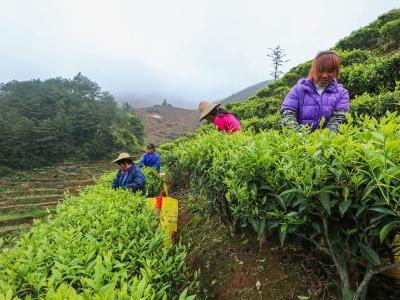 """春茶吐翠!梅州这里的茶农提前进入""""采茶模式""""咯"""