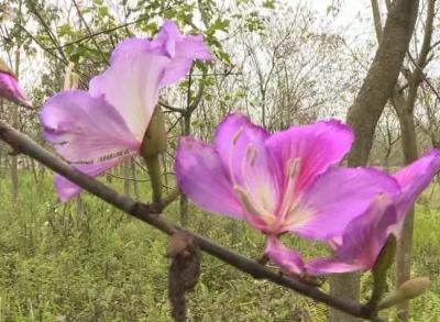 约吗?丰顺这里千株紫荆花绚丽绽放,美得惊艳