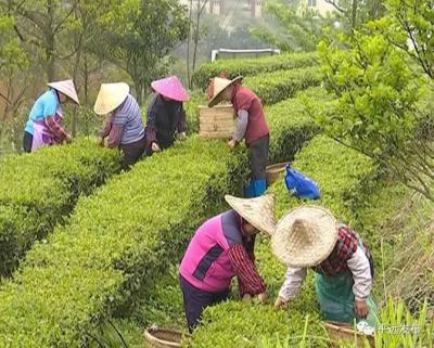绿意盎然采茶忙!平远1.5万多亩春茶进入采摘期