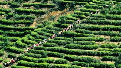 每日一景丨茶山风景线