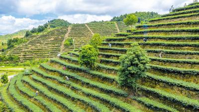五华:一片茶叶子撬动一个产业