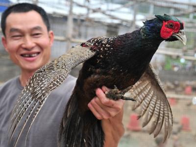 一只鸡能卖130元,带来百万年收入!他在平远贫困村闯出致富路