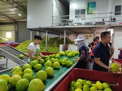 带你来探秘!梅州柚是怎样种、管、产、销的?
