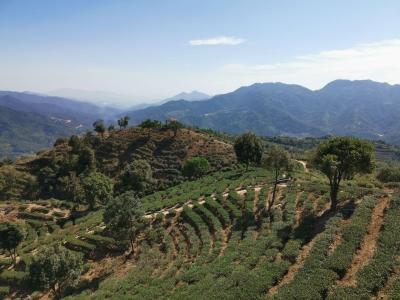 首批!梅州六家茶叶企业获广东生态茶园认定