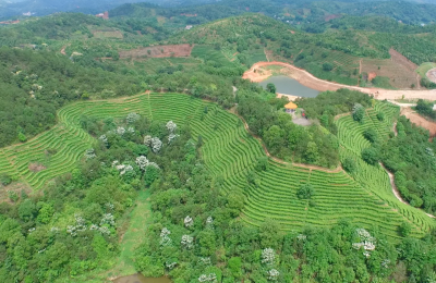 小叶子托起富民大产业!兴宁市径南镇打造茶叶专业镇壮大茶业促农增收