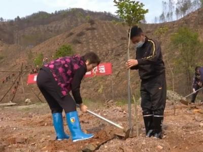 为大地增添一份新绿!平远干群合力,栽下1000多株树苗