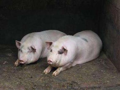 民生沟通丨为什么不允许农村散养猪?