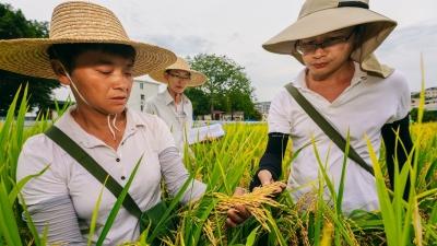 新视界丨水稻育种团队的日常:下地当农人 上田做研究