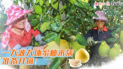 直播回顾丨2020金秋第一颗大埔蜜柚被摘下,梅州品质蜜柚正式上市