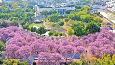 新视界丨满城梅花满城香